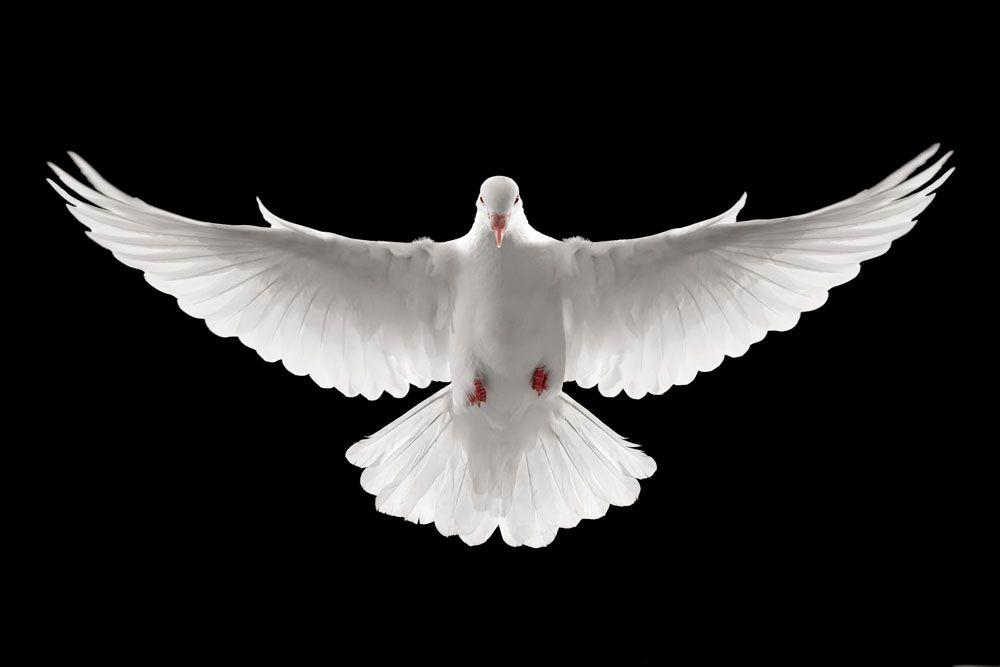 کبوتر سفید من رها عسکری
